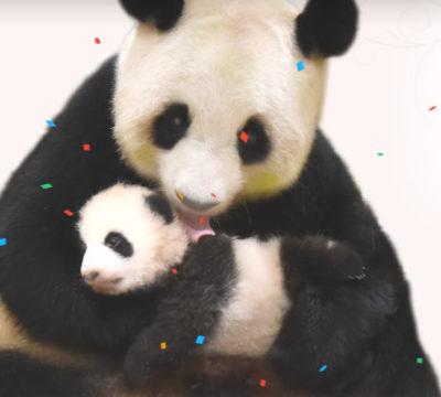 アドベンチャーワールドのパンダの赤ちゃん